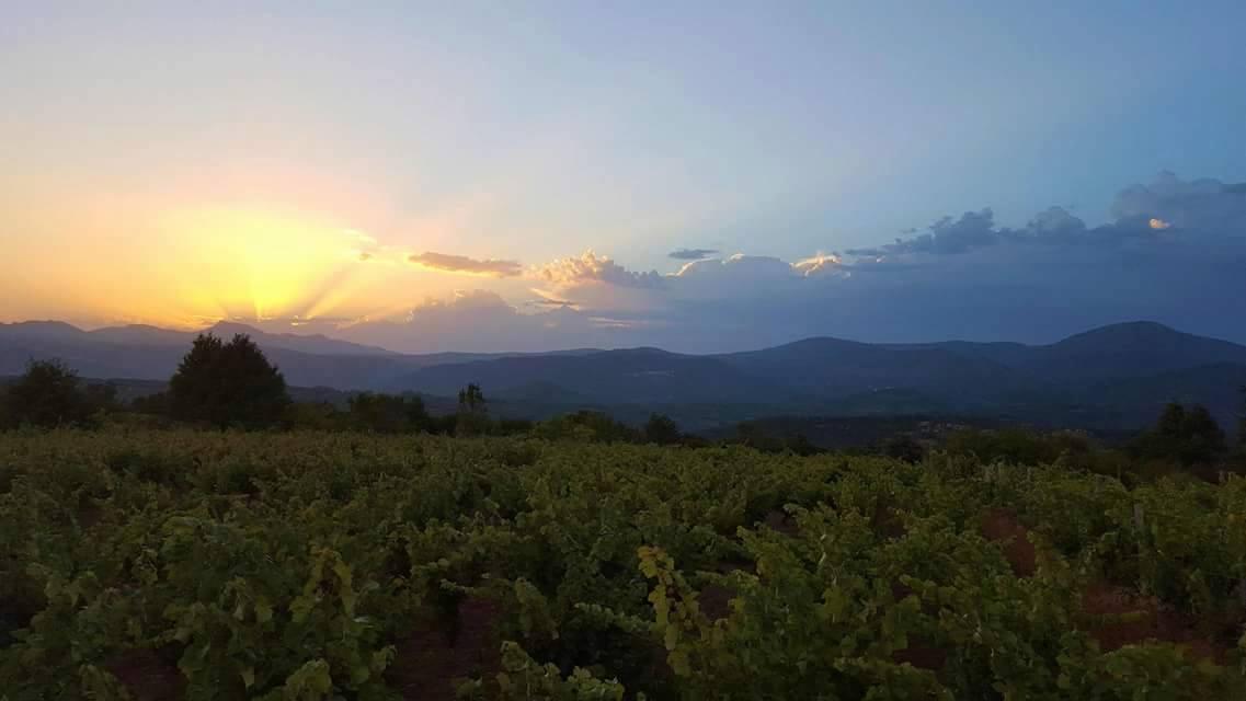 Viñedo de Mandrágora en la Sierra de Francia
